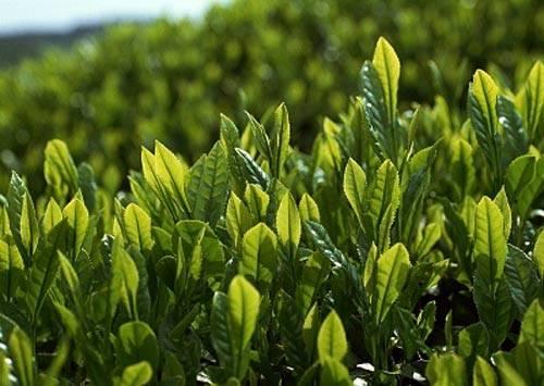 Trị mụn ẩn bằng xông mặt với lá trà xanh